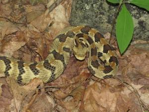 <i>Crotalus horridus</i> (Timber Rattlesnake)