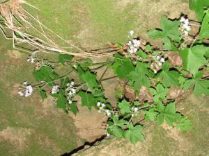 Waterleaf