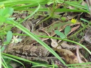 <i>Lithobates sphenocephalus</i> (Southern Leopard Frog) <i>in situ</i>