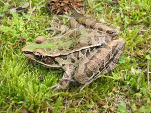 <i>Lithobates sphenocephalus</i> (Southern Leopard Frog)